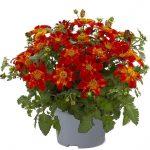 Bidens-ferulifolia-Bee-Happy-Red_