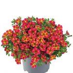 Calibrachoa-parviflora-Cabaret-Diva-Orange_