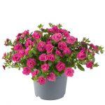 Calibrachoa-parviflora-Can-Can-Rosies-Rose_