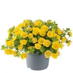 Calibrachoa-parviflora-Can-Can-Rosies-Yellow