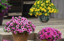 Nowe odmiany roślin balkonowo-rabatowych z asortymentu firmy Florensis