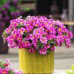 Calibrachoa-parviflora-Conga-pink-Star_