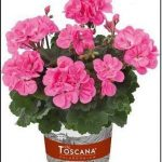 Pelargonium-zonale-Castello Benja Pink; fot. Florensis