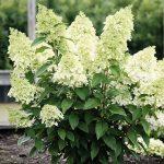 Hydrangea paniculata MAGICAL MATTERHORN