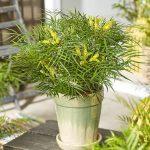 Mahonia eurybracteata Little Soft Caress