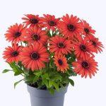 Osteospermum-ecklonis--Astra-Orange-Brique__fot. Florensis