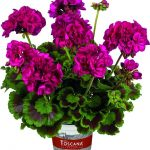 Pelargonium-interspecific-Galaxy-Violet_