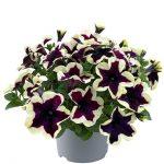 Petunia-grandiflora-GO!Tunia-French-Kiss