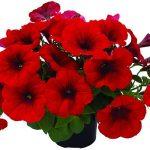 Petunia-grandiflora-Viva-Red-Impr.