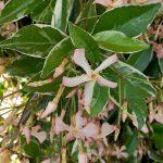 Trachelospermum asiaticum 'TRSUZ01' STAR OF MILANO