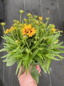 Coreopsis grandiflora Solanna™ Bright Touch - w doniczce o średnicy 13 cm, fot. M. Federowicz