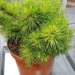 Pinus mugo subsp. uncinata 'Tukan', fot. A. Cecot