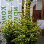 Picea omorika 'Golden Rain