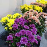 Chryzantemy drobnokwiatowe (Multiflora Line) - odmiany z grupy Branfountain_ZtZ2021_fot. A. Cecot