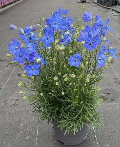 Delphinium grandiflorum Ocean Cheer Blue - 3 rośliny w doniczce 19-centymetrowej, fot. M. Federowicz