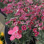 dianthus-caryophyllus-flutterburst__Florensis