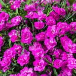 dianthus-caryophyllus-Mountain-Frost-Collection-Pink-PomPom_Florensis