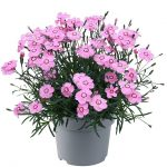 dianthus-caryophyllus-Mountain-Frost-Collection-Pink-Twinkle_Florensis
