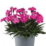 dianthus-caryophyllus-Mountain-Frost-Collection-Rose Bouquet_Florensis