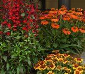 Byliny lata charakteryzuje coraz bogatszy asortyment, w którym przybywa odmian zakwitających w 1. roku uprawy (u góry z prawej Echinacea pupurea Lakota Orange), fot. Florensis