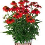Echinacea-purpurea-Lakota-Red_Florensis