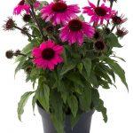 Echinacea purpurea Sombrero Rose