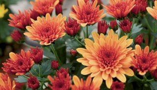 Wciąż można się zapoznać z ofertą firmy Royal van Zanten zaprezentowaną w Holandii podczas czerwcowych pokazów, a udostępnioną także online; wśród pokazanych roślin znalazły się doniczkowe chryzantemy (tu: Milkshake™ Papaya); fot. A. Cecot - prt.scr.