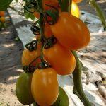 pomidor Plenorange F1