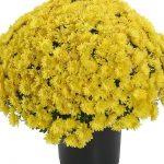 Chryzantema Tribeca Yellow_RVZ