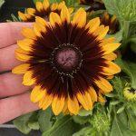 Rudbeckia rudy Mini Yellow Black_doniczka 19 cm_fot. M. Federowicz