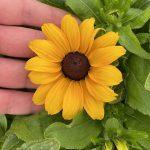 Rudbeckia rudy Mini Yellow _doniczka 19 cm_fot. M. Federowicz