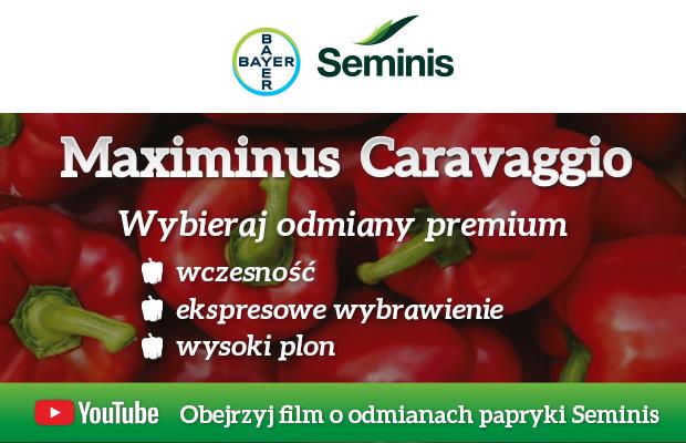 Seminis papryka Maximinus i Cravaggio