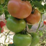 pomidor Clarosa F1