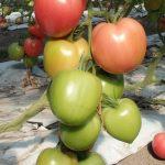 pomidor Jangcy F1
