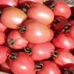 pomidor Kongo F1