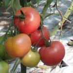 pomidor Kwintella F1