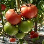 pomidor Manistella F1