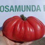 pomidor Rosamunda F1