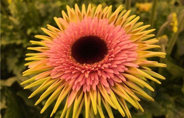 """Gerbera Smeagol to jedna z nowości w kwiaciarskim obrocie aukcyjnym, która znalazła się w półfinale konkursu o nagrodę Glazen Tulp (""""Szklanego Tulipana""""), fot. Royal FloraHolland"""