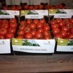 Na pierwszym planie owoce pomidorów malinowych Hakumaru, Tomimaru Muchoo i Yarimaru