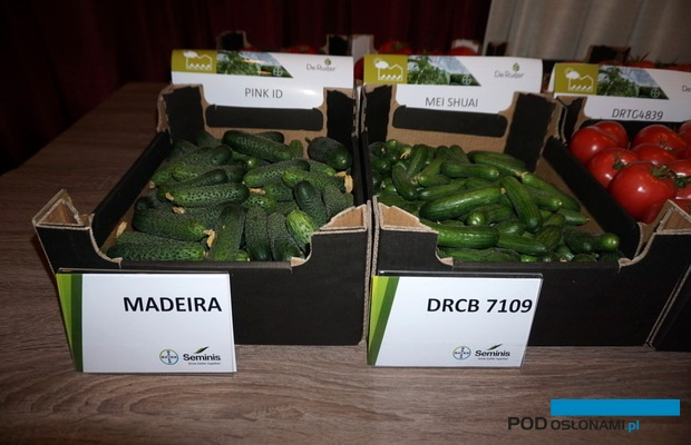 Ogórki odmian Madeira oraz DRCB 7109