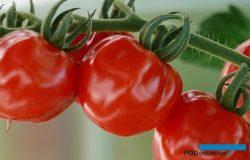 Odmiany pomidorów – cz. 1.  Propozycje na wczesne nasadzenia w nowoczesnych obiektach szklarniowych.