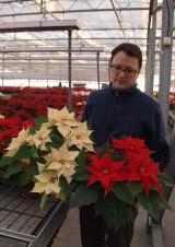 Tomasz Niemczewski określa tegoroczny sezon handlu poinsecją jako korzystny dla jego gospodarstwa ogrodniczego (z prawej odmiana 'Flame'), fot. 1-13 A. Cecot
