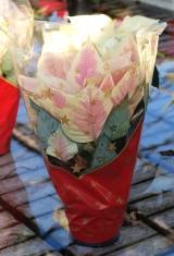 'Premium Marble' - przygotowana do sprzedaży roślina w bożonarodzeniowym rękawie
