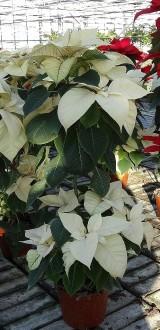 """Poinsecjowe """"drzewko"""" wyprodukowane z użyciem gibereliny, która wydłuża pędy, fot. 1-3 A. Cecot"""