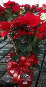 Drzewkowate formy najczęściej przybiera się świątecznie i oferuje jako produkt z wartością dodaną