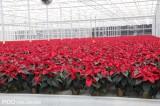W szklarniach Vitroflory dominują kreacje o czerwonych przykwiatkach...