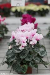 W grupie Maxora Fringed kwiaty mają fryzowane brzegi, tu 'Light Pink Eye'