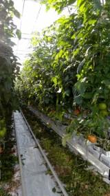 W obiekcie uprawiane są pomidory odmiany Listell F1