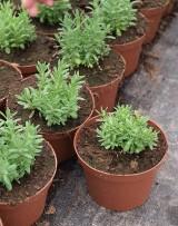 Lawenda wąskolistna 'Blue Scent Early' - rośliny wyprodukowane z dużego materiału wyjściowego (palety o 72 komórkach, w których jest po 6,7 siewek), posadzonego 2 miesiące wcześniej (pocz. marca)